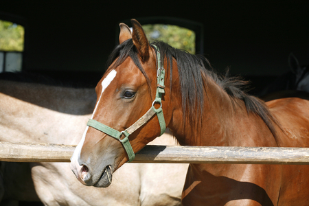 Young thoroughbred arabian horse standing in the stable door photo