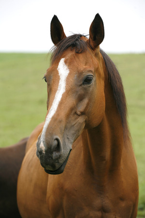 Portrait of nice brown bay horse.Close-up of youngster racing horse in the field Standard-Bild