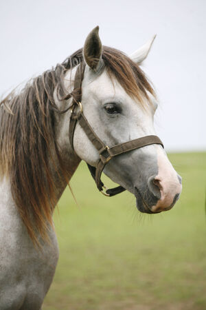 horse collar: Portrait of an beautiful arabian white horse.  Close-up of a gray youngster in summer paddock Stock Photo