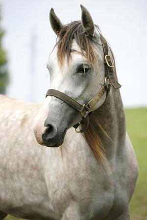 Porträt einer schönen arabischen weißen Pferd. Close-up von einem grauen Youngster im Sommer Fahrerlager