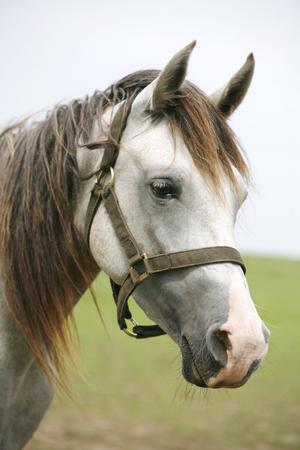美しいアラビアン白馬の肖像画。 夏のパドックで灰色の若者のクローズ アップ