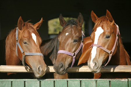 Nice thoroughbred foals in the stable