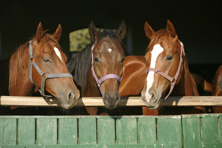 Young thoroughbred horses standing in the stable door 	Young thoroughbred horses standing in the stable door