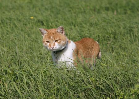catlike: Cute tabby cat walking on dandelion meadow Stock Photo