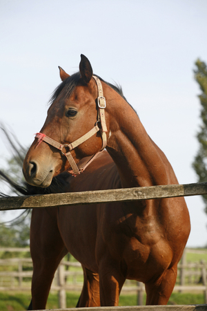 Portrait of nice purebred bay horse at corral door summertime photo