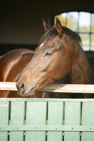 Nice purebred horse looking over stable door  Nice purebred horse looking over stable door photo