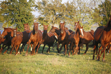 pasturage: Batch of beautiful horses running across on pasturage