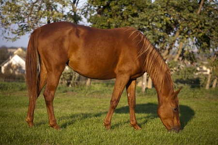 corral: Peaceful pregnant mare grazing in summer corral Stock Photo