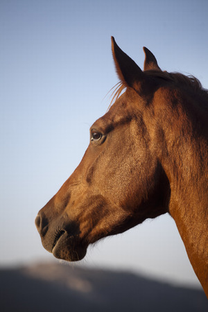 Side view portrait of an beautiful mare hungarian breed gidran horse photo
