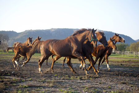 Batch of beautiful horses running across on pasturage photo