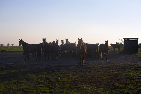 batch: Lote de hermosos caballos contra la luz del atardecer en pastos