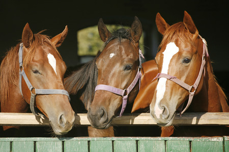 Beautiful thoroughbred horses at the barn door. Nice thoroughbred foals in the stable door