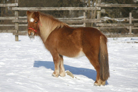Pony Horse In Winter Corral Rural Scene. Very nice pony horse standing wintertime in a beautiful sunny day photo