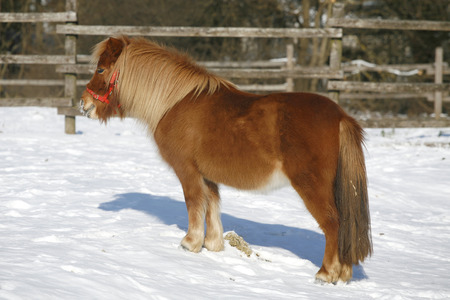 Very nice pony horse standing wintertime in a beautiful sunny day photo