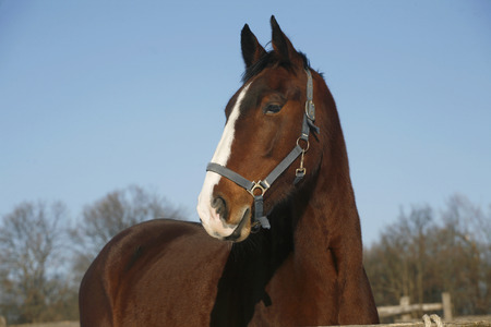Headshot of a beautiful thoroughbred horse in winter pinfold under blue sky photo