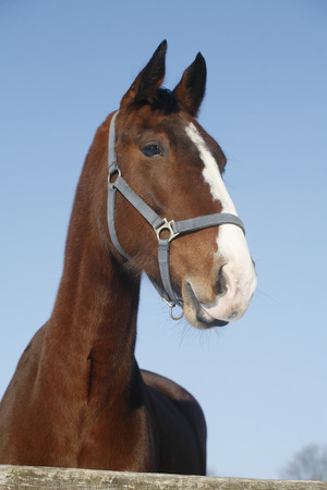 Headshot of a beautiful thoroughbred horse in winter pinfold