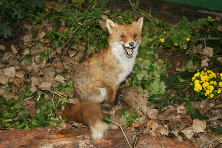Red fox  with his prey