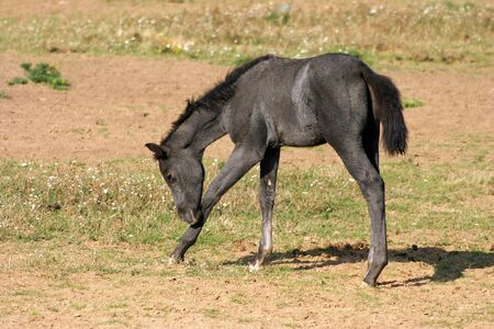 filly: Beautiful gray filly on spring pasturage posing alone rural scene