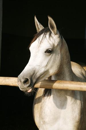 yegua: Hermosa yegua �rabe pura raza mirando por encima de la puerta del establo Foto de archivo