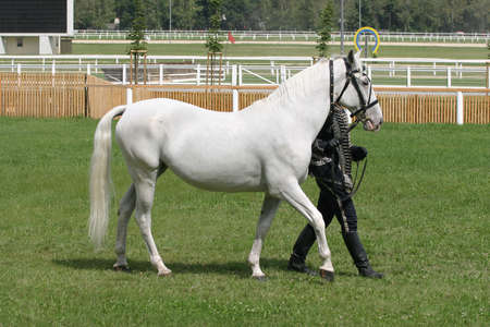 warmblood: Warmblood thoroughbred grey racehorse walking Stock Photo
