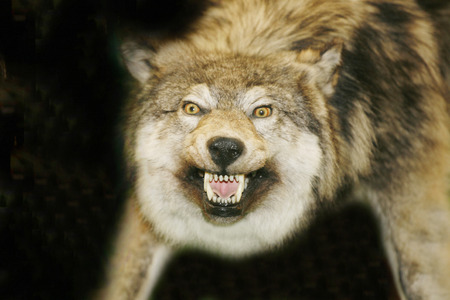angry animal: Portrait of stuffed wolf as a background Stock Photo