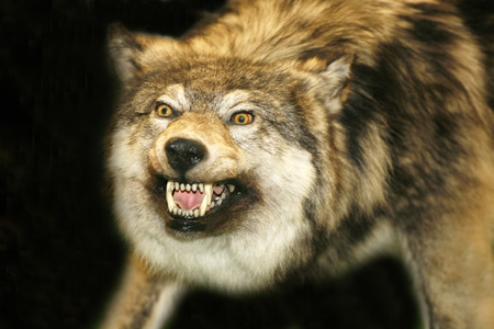 fangs: Portrait of stuffed wolf as a background Stock Photo