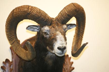 Closeup photo of moufflon skull hanging on wall
