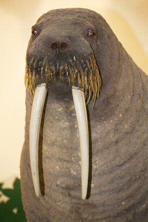 Stuffed walrus head with tusks close-up as a background Archivio Fotografico