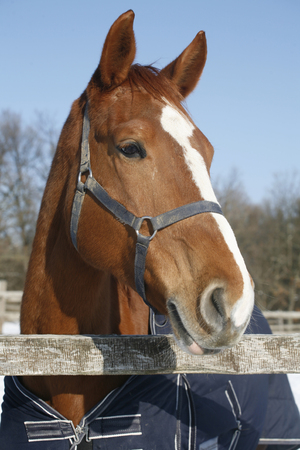 Portrait of nice purebred bay horse at corral door frozen winter day photo