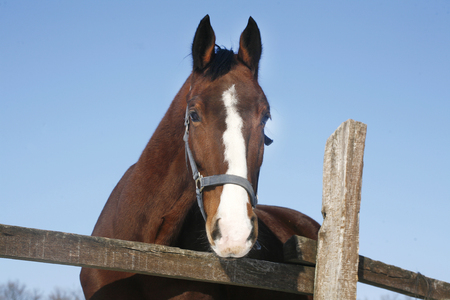 Portrait of a  gentle stallion horse in winter paddock under blue sky as a background photo