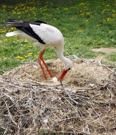 Close-up of a stork in its natural habitat. Adult stork in natural habitat on nest 免版税图像