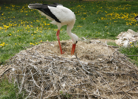 migrate: Close-up of a stork in its natural habitat. Adult stork in natural habitat on nest Stock Photo
