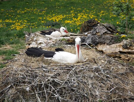 natural habitat: Close-up of a stork in its natural habitat. Adult storks in natural habitat on nest Stock Photo