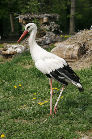 migrate: Young stork on the green lawn background