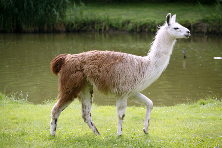 Side view portrait of a young llama