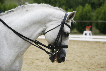 lipizzaner: Side View Portrait Of A Beautiful Grey Horse Dressage During Work