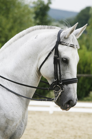 Side view portrait of a beautiful grey dressage horse during work 免版税图像 - 41963527