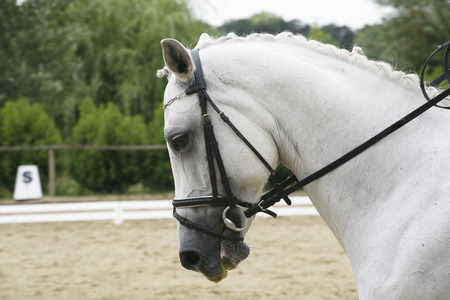 lipizzaner: Side view portrait of a beautiful grey dressage horse during work