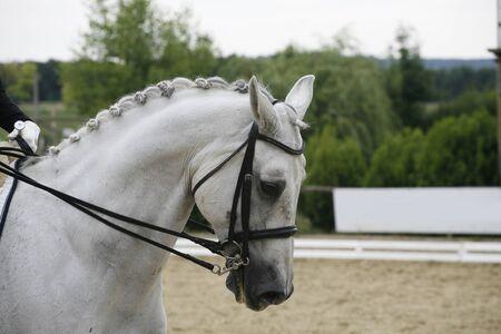 lipizzaner: Headshot of a grey dressage sport horse in action