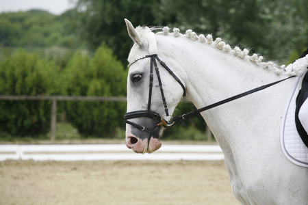lipizzaner: Headshot of a grey colored dressage sport horse in action
