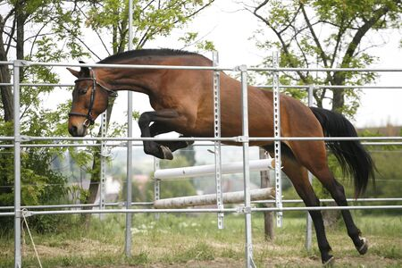 horse jump: Beautiful young purebred horse jump over barrier
