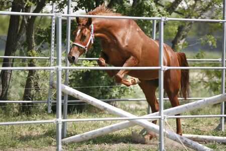 horse jump: Beautiful young purebred horse jump over barrier. Free jumping Stock Photo