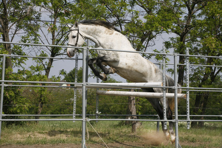 thoroughbred: Young thoroughbred horse in action over an obstacle summertime outdoor