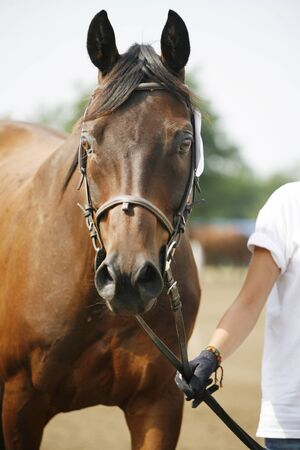 halter: Unknown rider leading a purebred racehorse with halter