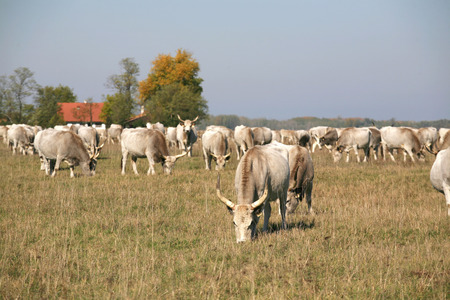 cattle grazing: Herd of  hungarian grey steppe cattle grazing on meadow
