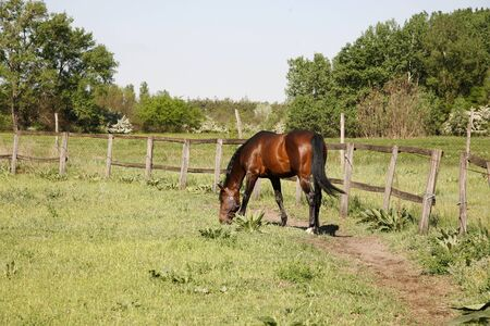corral: Bay colored stallion grazing in the corral summertime rural scene
