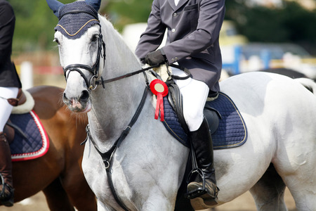 Side view portrait of a beautiful grey dressage horse with rosette with jockey