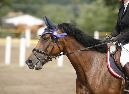 racehorse: Award winning racehorse during celebration on a show jumping event