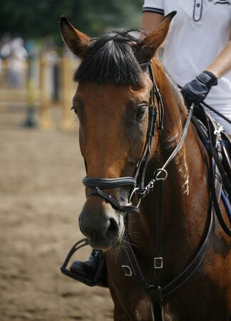 racehorse: Face of a beautiful purebred racehorse on the jumping competition