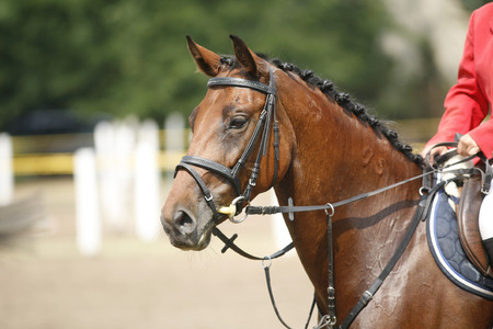 Head-shot of a show jumper horse during competition with jockey Фото со стока